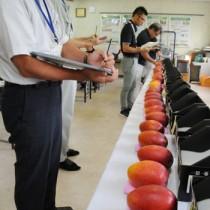 20点を厳正に審査した第5回奄美大島・喜界島マンゴー品評会=2日、奄美市