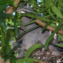 民家の庭で子育て中のキジバト=26日、奄美市名瀬