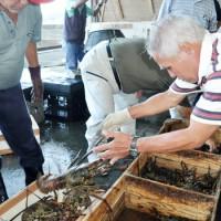 次々と水揚げされる生きのいいイセエビ=21日、奄美市の名瀬漁協