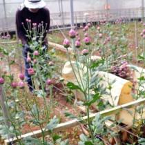 定期船再開に向け、夏秋ギクの収穫作業に汗を流す農家=13日、和泊町