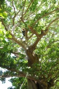 樹木に登り、剪定(せんてい)や腐朽部処理を行う作業員=26日、瀬戸内町諸鈍