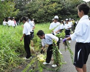 外来植物のセイタカアワダチソウを駆除する生徒=27日、龍郷町