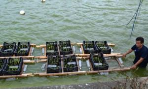 ンサイの苗を載せた木製の枠組みを、ため池に浮かべる組合員=9月22日、与論町