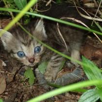 アマミトゲネズミを捕食する子猫=9月26日午前9時40分ごろ、奄美大島の山中(山室一樹さん撮影)