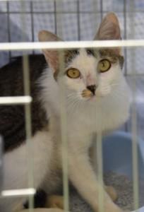 奄美大島の山中で捕獲され、譲渡された猫=2018年8月、奄美市名瀬