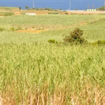 5期連続となる生産量8万トン超えに期待が高まる沖永良部島のサトウキビ