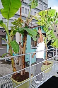 屋仁川駐車場に実った鉢植えのバナナと濱元さん=8日、奄美市名瀬