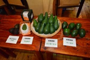 瀬戸内町で収穫された3種と一般的な輸入アボカド=7日、瀬戸内町古仁屋