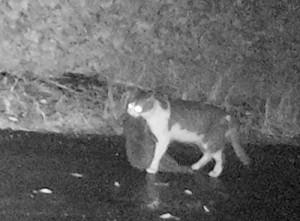 アマミノクロウサギをくわえた猫=2017年1月、徳之島町(環境省沖縄奄美自然環境事務所提供)