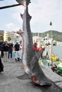 4㍍超の大物御用 名瀬地区漁業集落