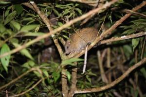 国の天然記念物ケナガネズミ。国内のネズミの仲間で最も大きい=2019年11月、奄美大島