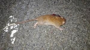 交通事故にあった個体=奄美大島(環境省奄美野生生物保護センター提供)