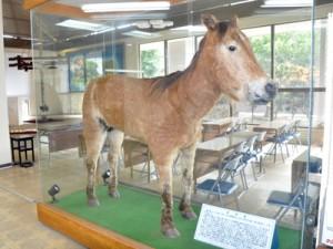 喜界町公民館に展示されている最後の喜界馬の剥製=2019年11月、同町赤連