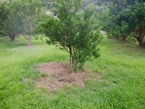 イノシシの被害があった龍郷町浦の果樹園(龍郷町提供)