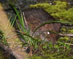国の天然記念物トクノシマトゲネズミ。奄美と沖縄の3島にはそれぞれ固有のトゲネズミが生息している=2019年4月、徳之島