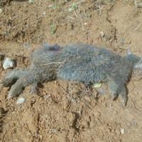犬に襲われたとみられるクロウサギ=9月28日、徳之島町母間