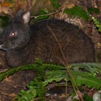 ナイトツアーの影響が懸念されるアマミノクロウサギ=奄美大島