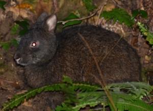 交通事故が多発しているアマミノクロウサギ=奄美大島