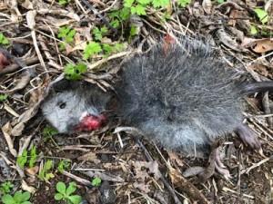 猫に襲われたケナガネズミの死骸(提供写真)