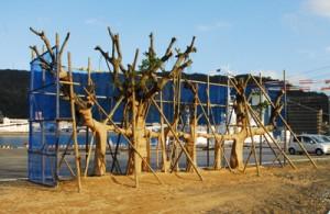 名瀬港本港地区埋め立て地に移植されたガジュマル=13日