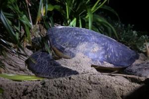 奄美大島に上陸し産卵しているウミガメ