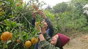 いもーれ奄美民泊村のタンカン狩りを楽しむ参加者=2月(提供写真)