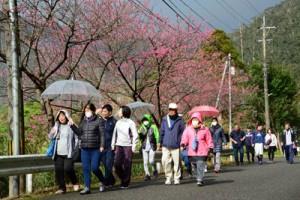 沿道を彩るヒカンザクラを眺めながらウオーキングを楽しむ参加者=9日、奄美市住用町川内