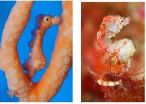 沖永良部島沖で見つかったカクレタツノコ(写真左) ユリタツノコ(GTダイバーズ沖永良部島提供)