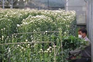 切り花の収穫作業がピークを迎えている和泊町内の平張施設=6日、同町