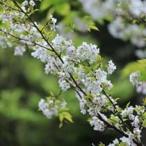 満開を迎えた梅次郎桜=13日、宇検村の山中(役場提供)