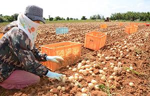バレイショの掘り取り作業に汗を流す農業従事者=14日、和泊町
