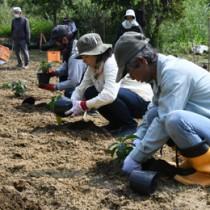 苗木を定植する徳之島コーヒー生産者会の会員=11日、伊仙町面縄