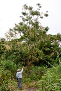 奄美市名瀬や龍郷町に分布している外来種のセンダンキササゲ=3日、龍郷町