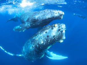 ザトウクジラの親子=3月、奄美大島沖(興克樹さん撮影)