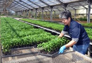 生産者に配布するトウガラシの苗を準備する関係者=3月25日、喜界町湾の営農支援センター