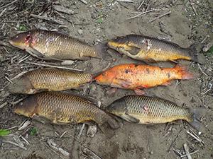 住用川で捕獲された外来種のコイ=2019年11月、奄美市住用町