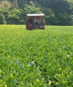一番茶の収穫が始まった「べにふうき」の茶園=29日、天城町岡前