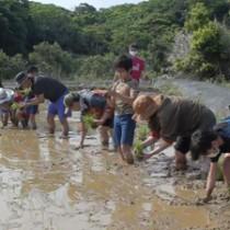 一列になり、田植えをする参加者=5日、和泊町後蘭(提供写真)