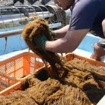 喜瀬漁港近くの海岸で、船いっぱいに収穫した奄美モズクを手にする関係者=14日、奄美市笠利町
