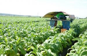 葉タバコを収穫が始まったほ場=13日、知名町正名