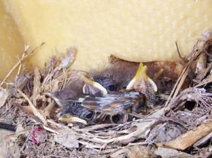 カヤックの中の巣で、すくすくと育つアカヒゲのひなたち=5月1日、龍郷町芦徳(城泰夫さん撮影)