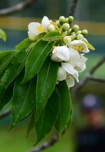 梅雨の訪れを告げるイジュの花=10日、奄美市の名瀬運動公園