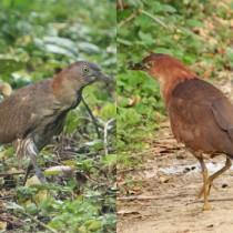 沖永良部島で確認された(右から)ミゾゴイの成鳥=1日=と幼鳥=4日、いずれも知名町屋子母(提供写真)