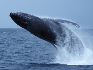ザトウクジラの豪快なジャンプ=3月、奄美大島近海(興克樹さん撮影)
