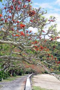多くの花を付け、樹勢の回復が見られた諸鈍のデイゴ並木=24日、瀬戸内町加計呂麻島