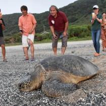救出した住民らに見守られ海へと歩き出すアオウミガメ=15日、龍郷町の安木屋場海岸