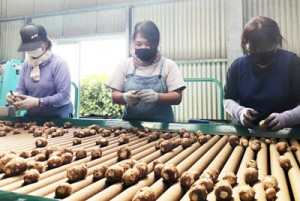 サトイモの選別を行う作業員(提供写真)