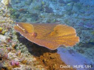 ハワイの深海に生息するセンベイサンゴの群集(提供写真)