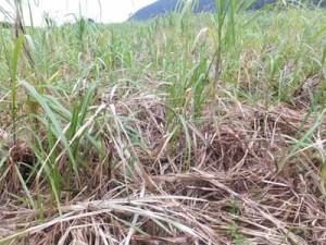 イノシシの被害を受けた徳之島町内のサトウキビ(町役場提供)