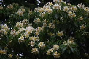 梅雨を告げるイジュの花=奄美大島